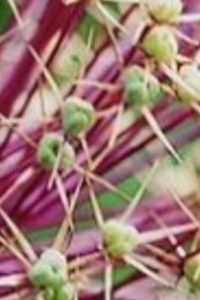 Save the date: VIII International Symposium on Edible Alliums