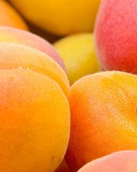 XVII International Symposium on Apricot Breeding and Culture