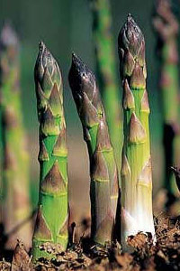 Delay in the start date of the 5th International Asparagus Cultivar Trial (5IACT)