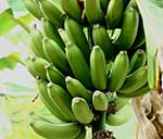 New $13.8 million project aims to boost banana production in Uganda and Tanzania