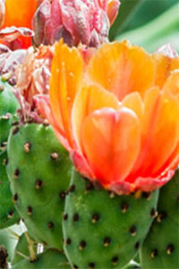 X International Congress on Cactus Pear and Cochineal
