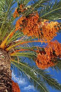 International Date Palm Conference - III International Symposium on Date Palm (ISHS) and VI Date Palm Symposium (KFU)