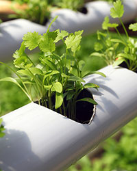 New ISHS Working Group: Hydroponics and Aquaponics