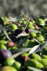 Save the date: IX International Olive Symposium