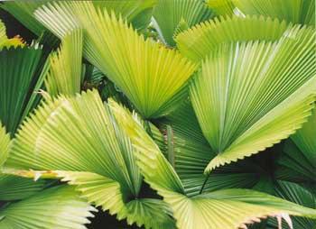 ornamental palms