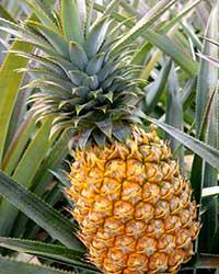 Pineapple News #27 (August 2020)