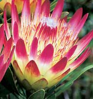 Counting down to Perth hosting international conference on Proteaceae and new ornamental crops