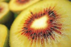 Bacterial Canker of Kiwifruit (Psa)