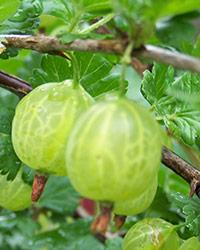 XII International Rubus & Ribes Symposium