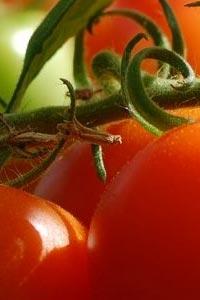 Save the date: VII International Symposium on Tomato Diseases